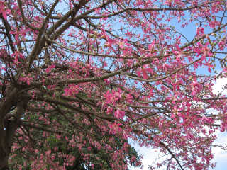 Toborochi Tree in Bloom