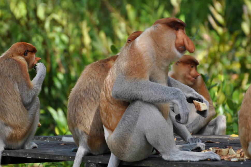 Best time for Proboscis Monkeys in Borneo