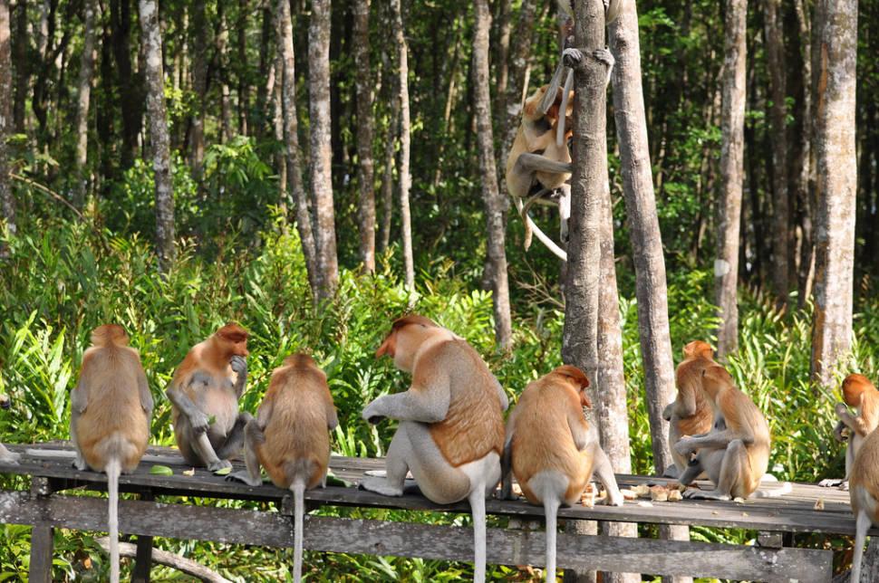 Proboscis Monkeys in Borneo - Best Season