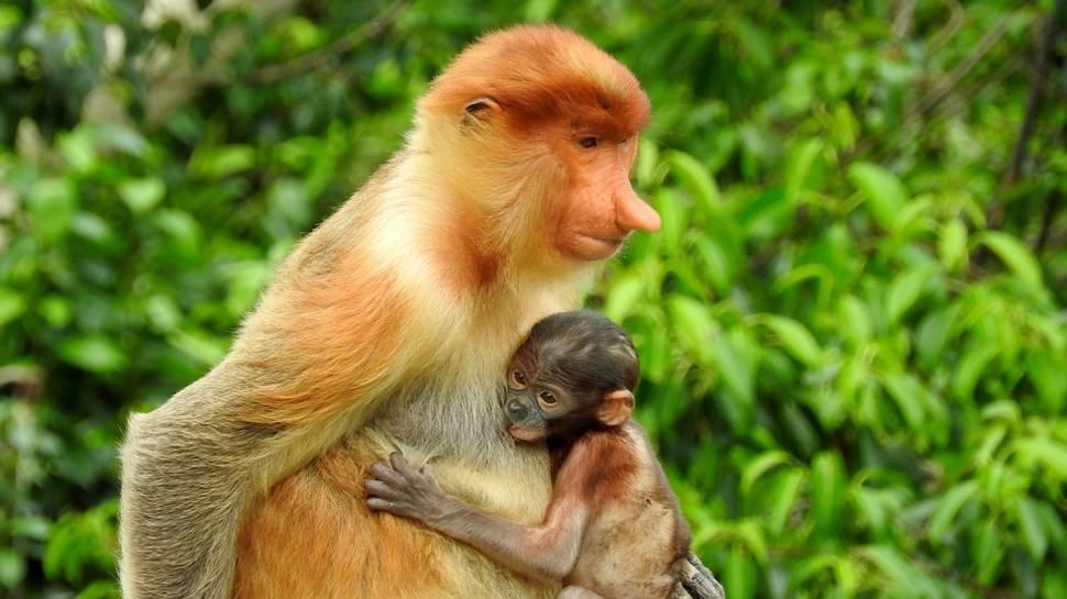 Best time to see Proboscis Monkeys in Borneo