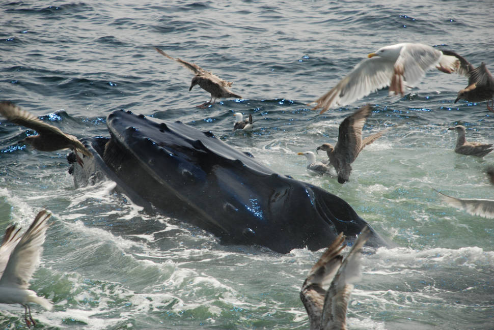 Best time for Whale Watching in Boston