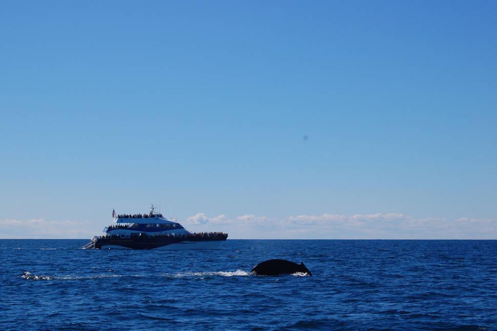 Whale Watching in Boston - Best Season