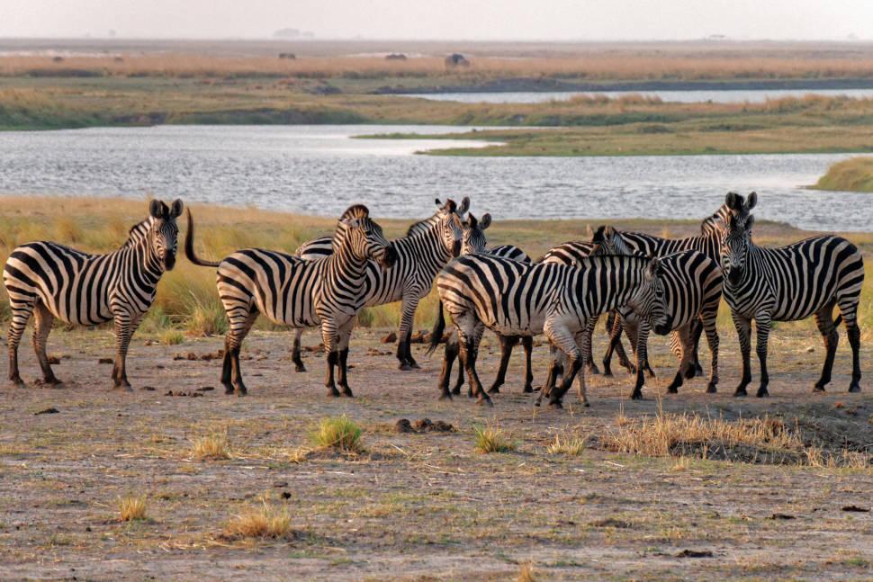 Zebras at the Chobe River, Botswana