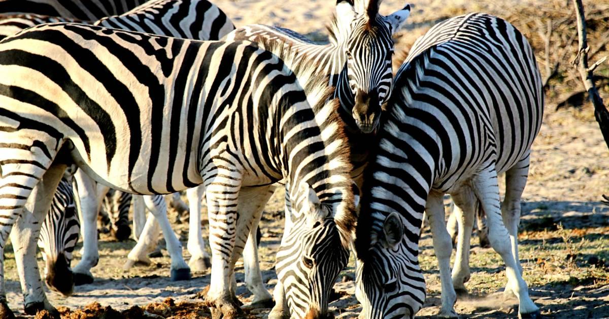 African Zebras in Botswana - Best Time