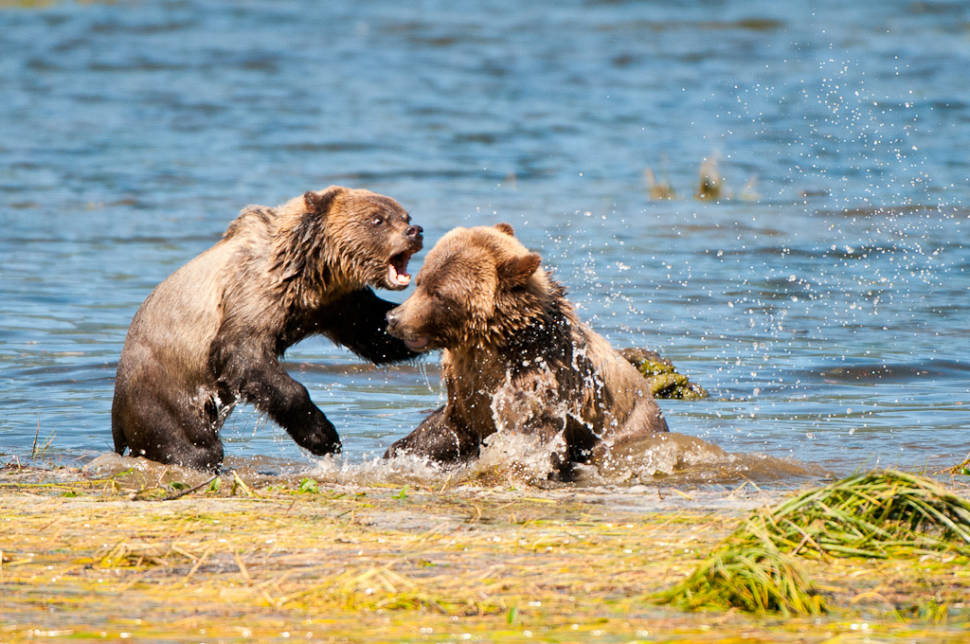 Fighting Grizzlybear cubs out of the Telegraph Cove on northern Vancouver Island