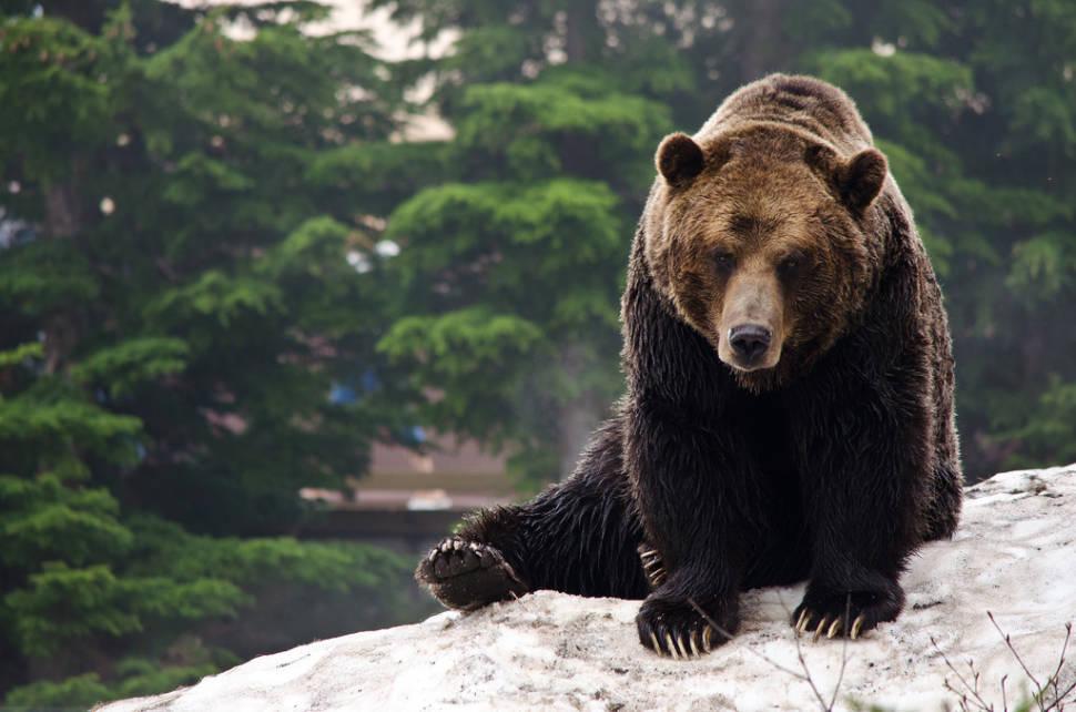 Grizzy Bear - Grouse Mountain