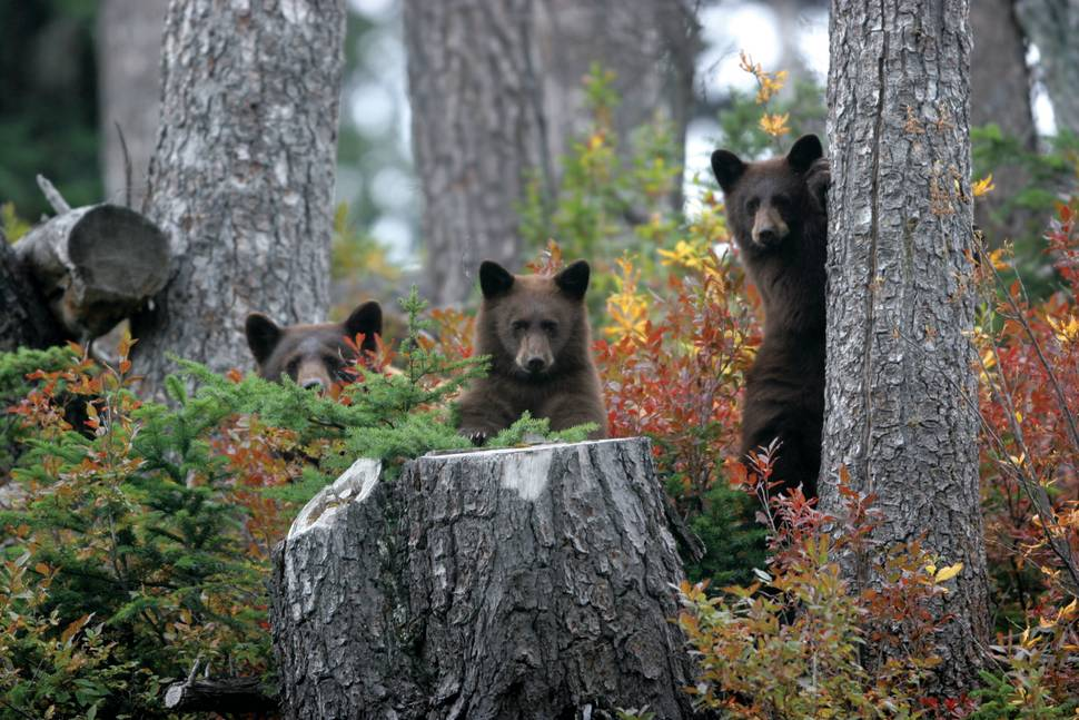 Grizzly Bear Watching in British Columbia - Best Time
