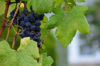 Okanagan Grape Harvest