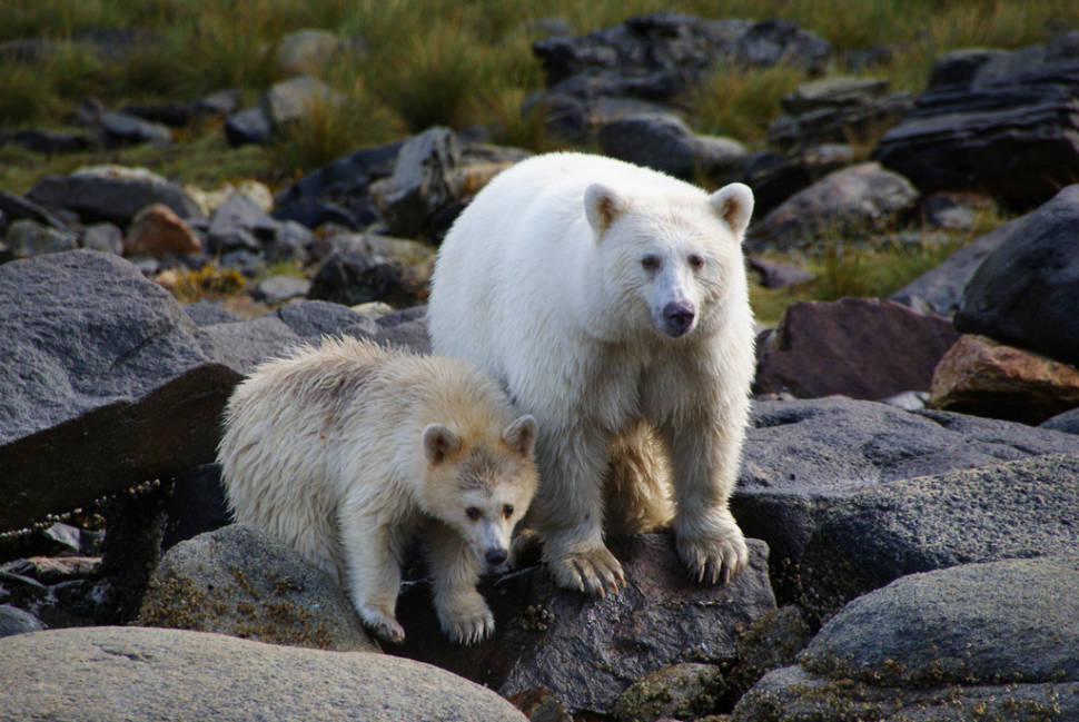Best time for Spirit Bears in British Columbia