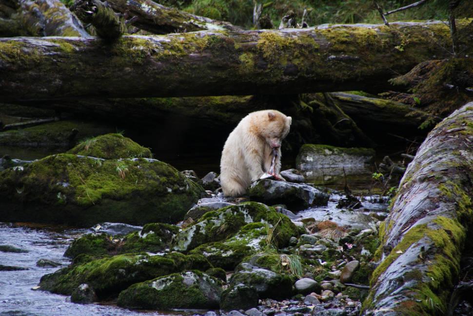 Spirit Bears in British Columbia - Best Season