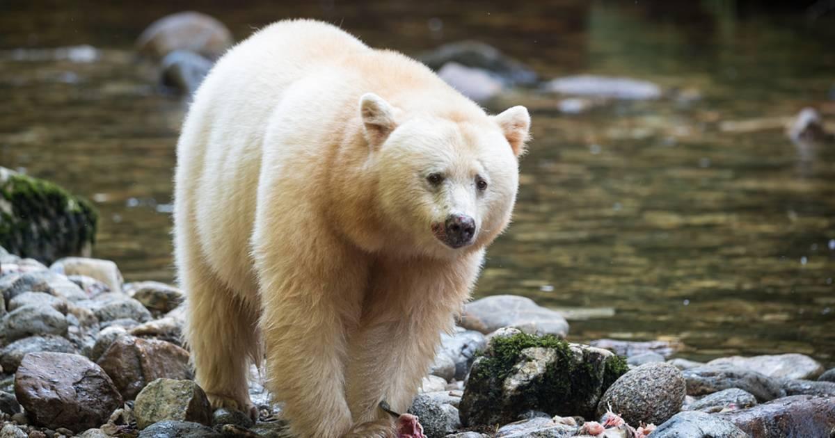 Spirit Bears in British Columbia - Best Time