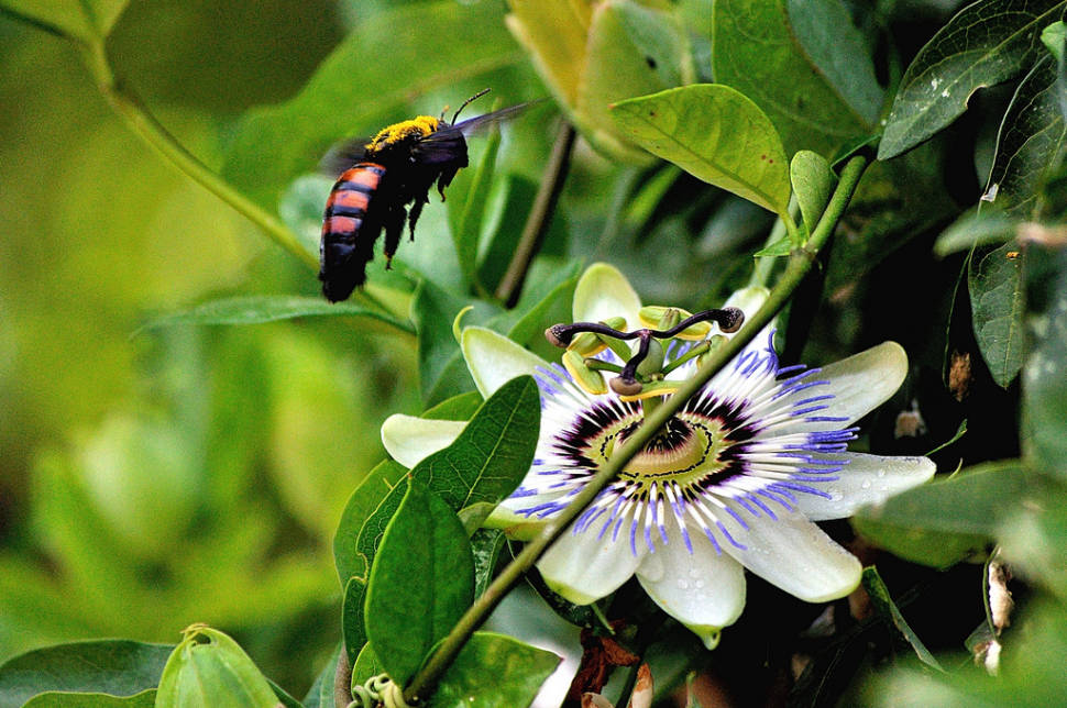 Blue Passion Flower Blooming in Buenos Aires - Best Season