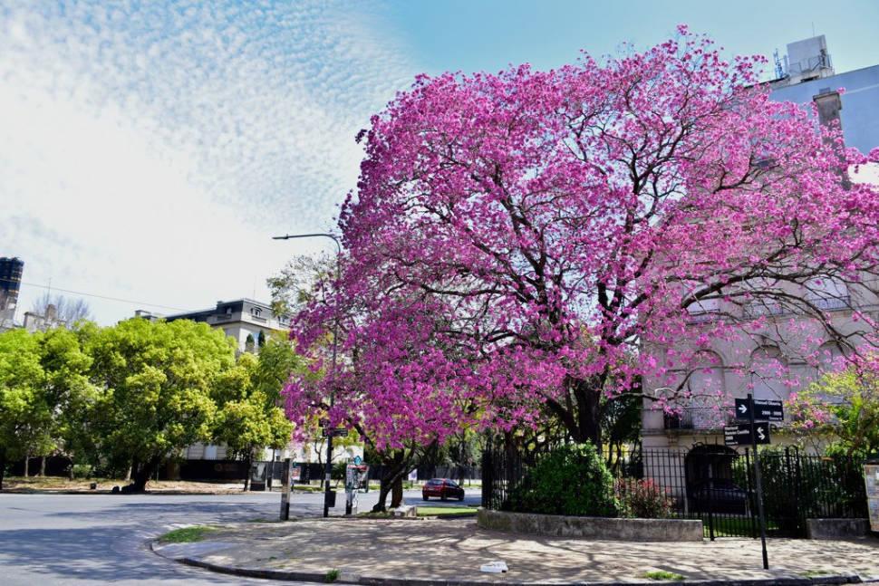 Lapacho Blooming in Buenos Aires - Best Season
