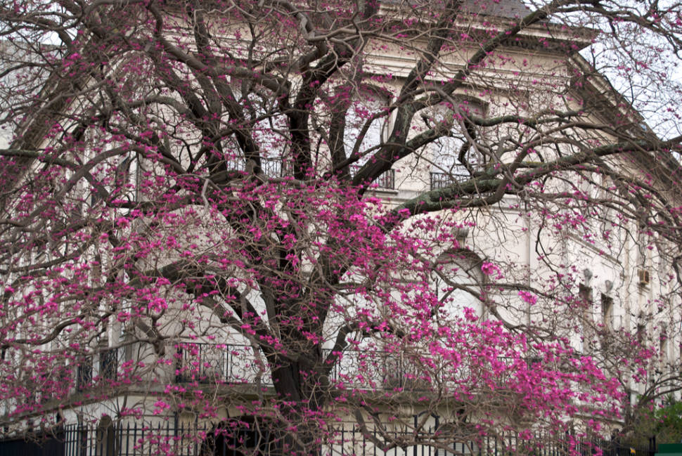 Best time to see Lapacho Blooming in Buenos Aires