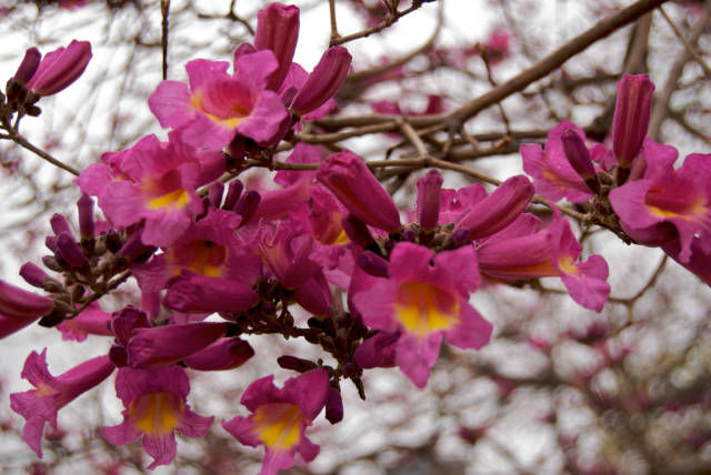 Best time for Lapacho Blooming in Buenos Aires