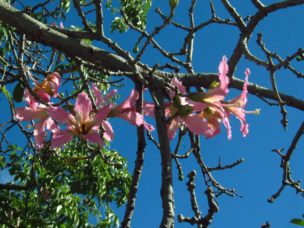 Best time for Palo Borracho Bloom