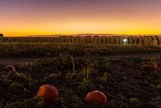 Cool Patch Pumpkins Corn Maze in California - Best Season