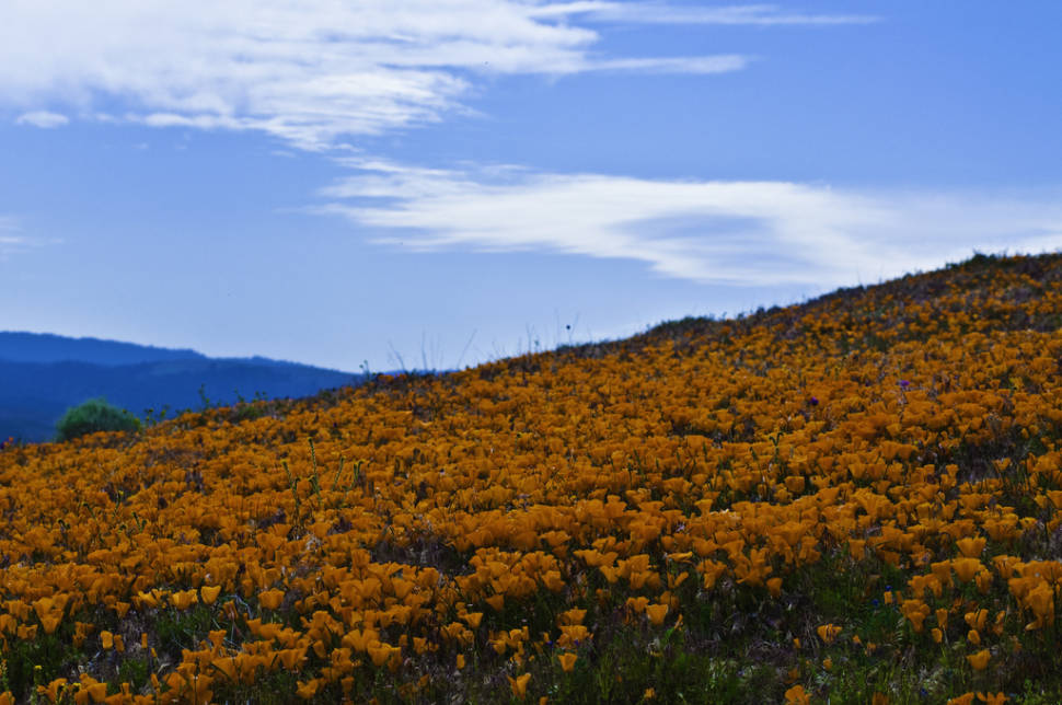 Best time to see Antelope Valley California Poppy Reserve in California