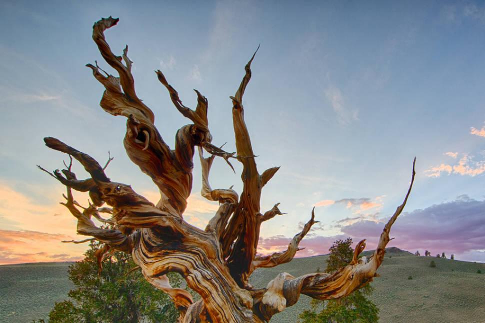 Methuselah, White Mountains, California