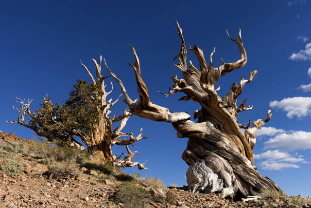 Best time to see Bristlecone Pines in California