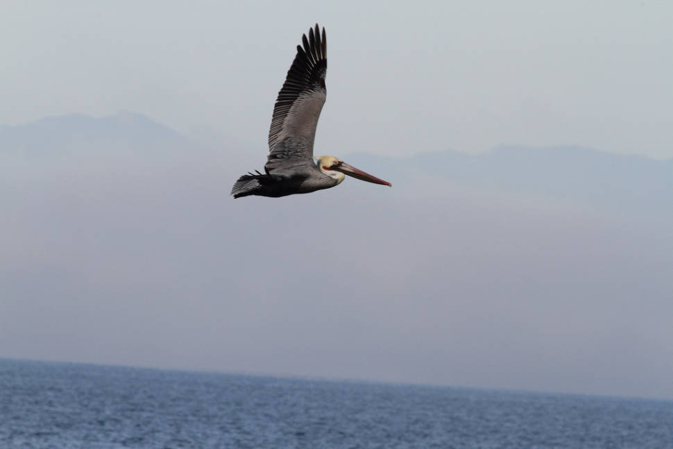 Best time to see Brown Pelicans in California