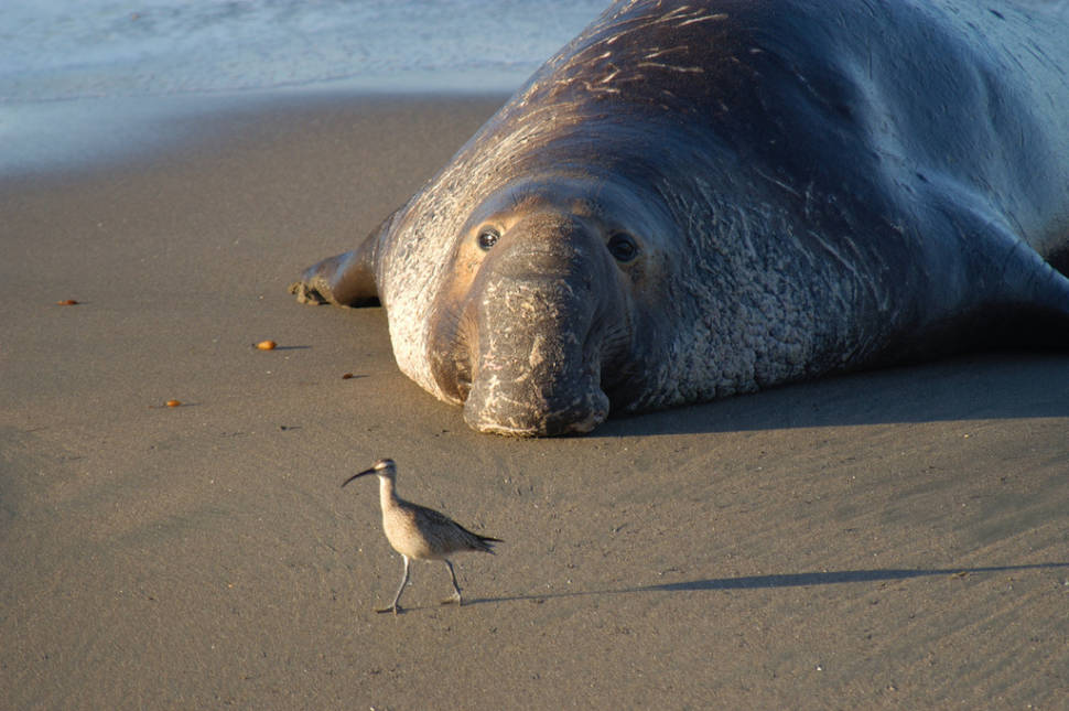 What a romantic elephant seal!