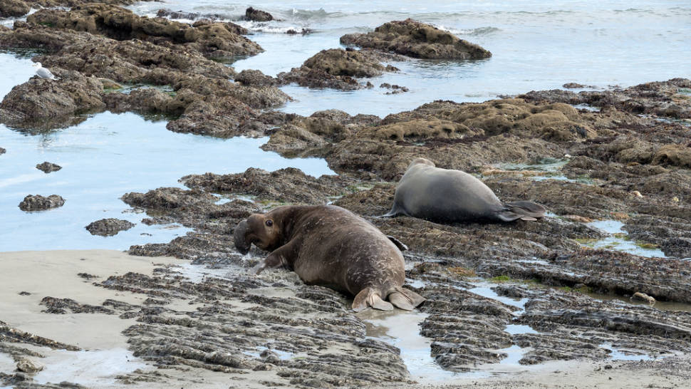 Male elephant seal wouldn't let a female go out to feed without mating with him. Año Nuevo State Park