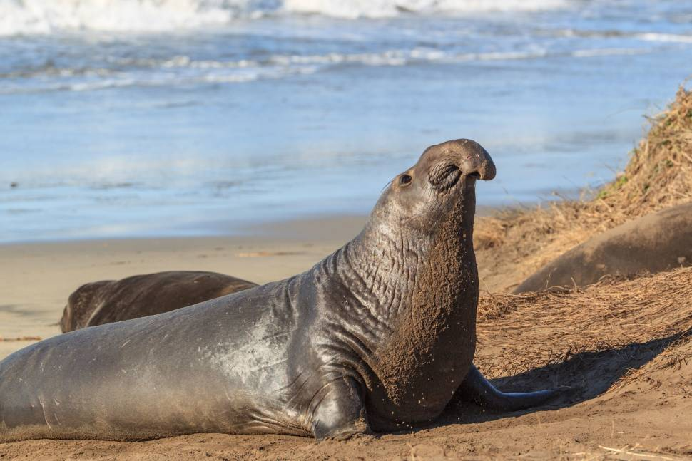 Best time for Elephant Seals in California