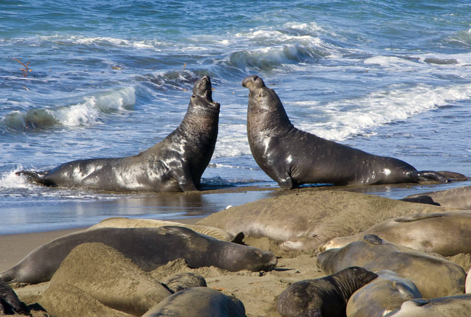 Elephant Seals Having a Discussion