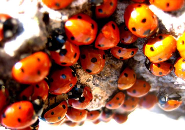 Ladybugs in California - Best Season