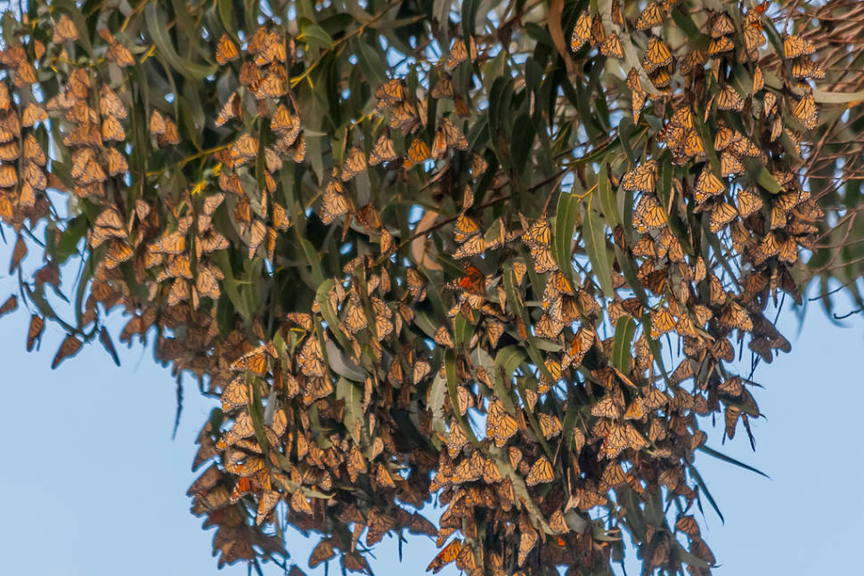Monarch Butterflies in California - Best Season