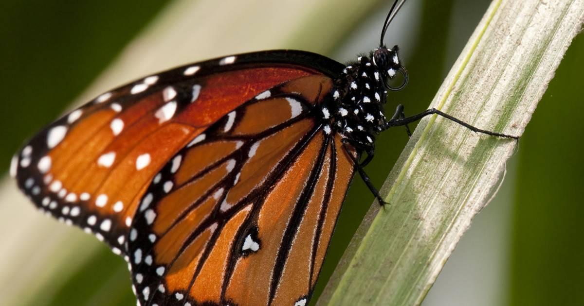 Monarch Butterflies in California - Best Time