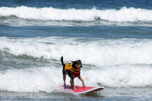 Surf Dog Competition at the Imperial Beach