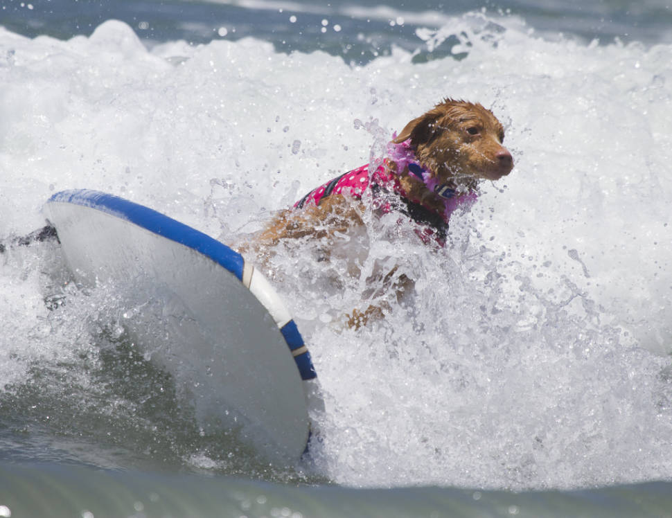 Surf Dog Competition in California - Best Time