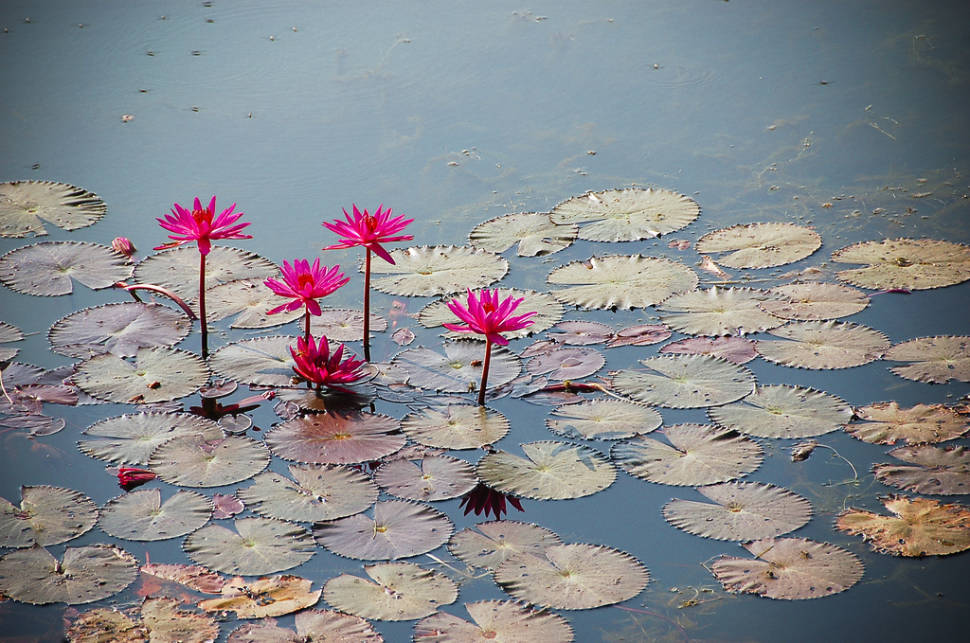 Best time for Lotus Blooming in Cambodia
