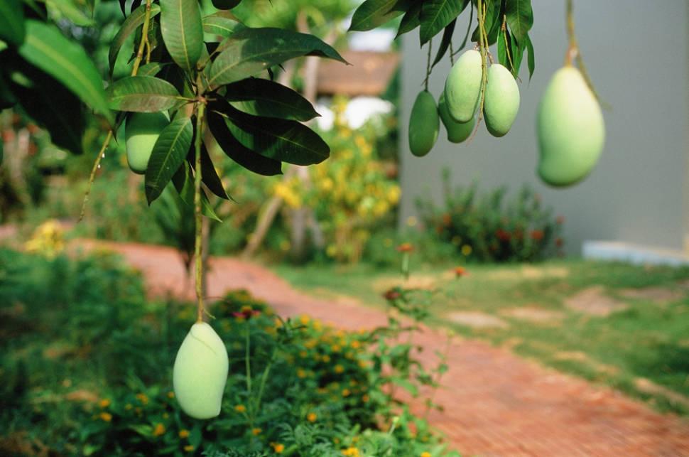 Mango Season in Cambodia - Best Time