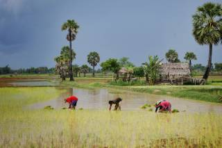 Rice Harvest Season