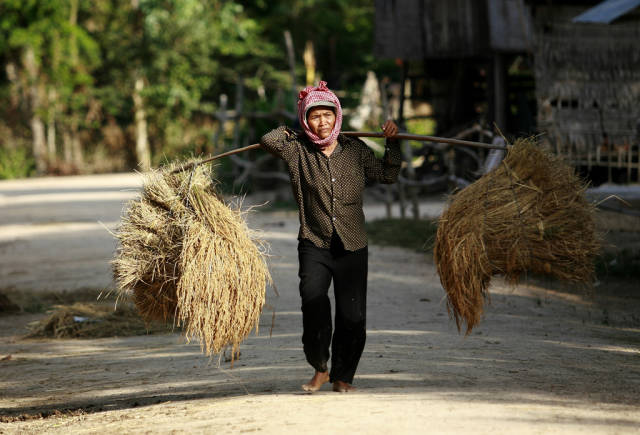 A Cambodian farmer carries her SRI rice harvested in the dry season in Tra Lach village, Triang district, Takeo province.