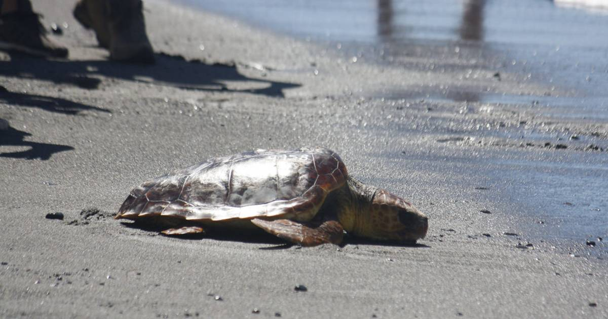 Loggerhead Turtle in Canary Islands - Best Time