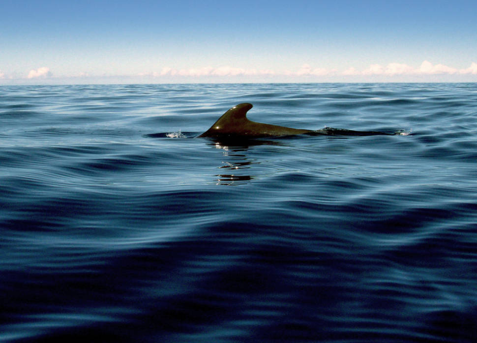 Best time for Long-Finned Pilot Whale in Canary Islands