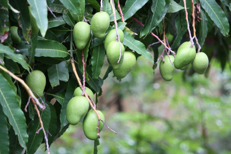 Unripe mangoes