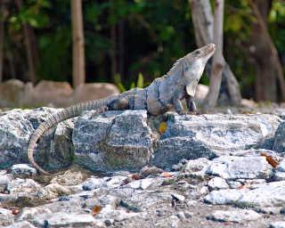 Iguanas at El Rey Ruins