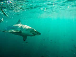 Diving with the White Sharks