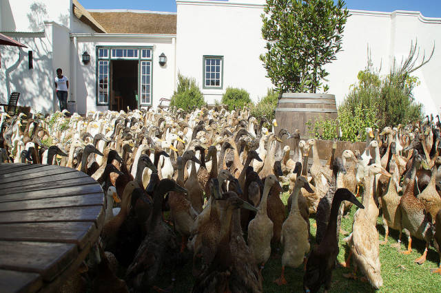 The Army of Ducks in Cape Town - Best Season