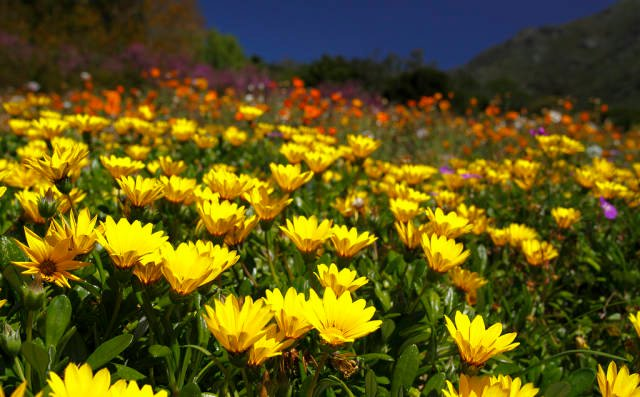 Wild Flowers in Bloom in Cape Town - Best Time