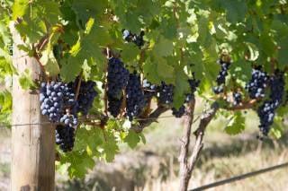 Wine Harvest Festivities