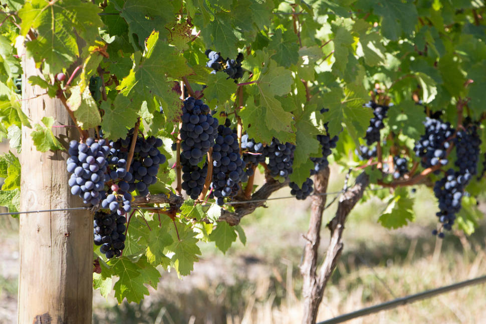 Wine Harvest Festivities in Cape Town - Best Time