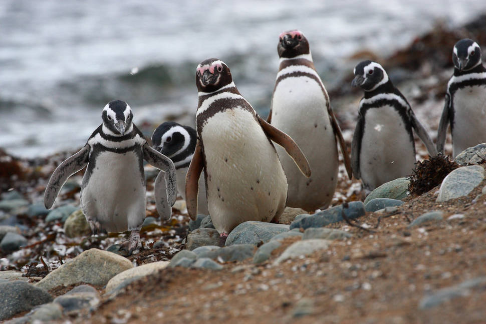 Otway penguins