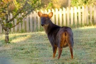 Pudu Deer