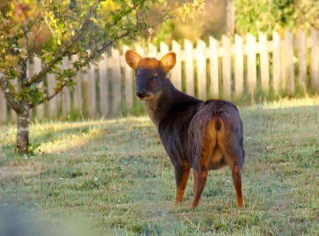 Pudu Deer in Chile - Best Time